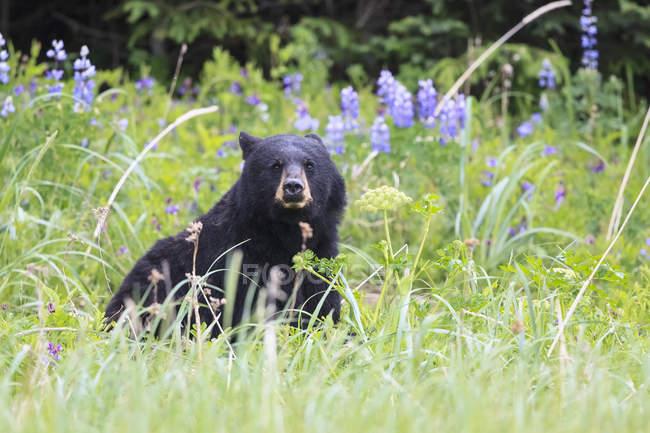 Orso nero seduto in erba sul prato verde fiorito — Foto stock