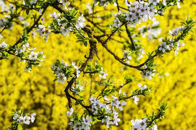 Білий цвітіння абрикос і жовтий Форзиция Проміжна цвітіння Переглянути — стокове фото