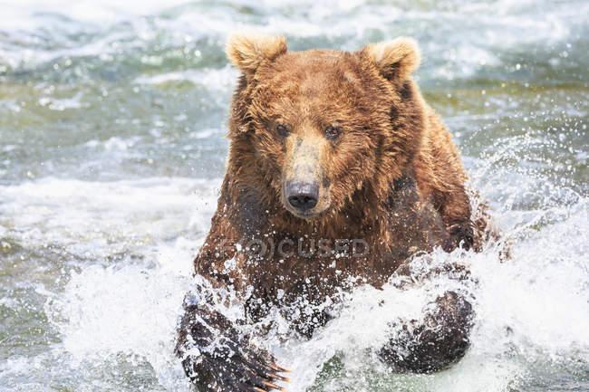Brown bear foraging at Brooks Falls at daytime, Katmai National Park, Alaska, USA — Stock Photo