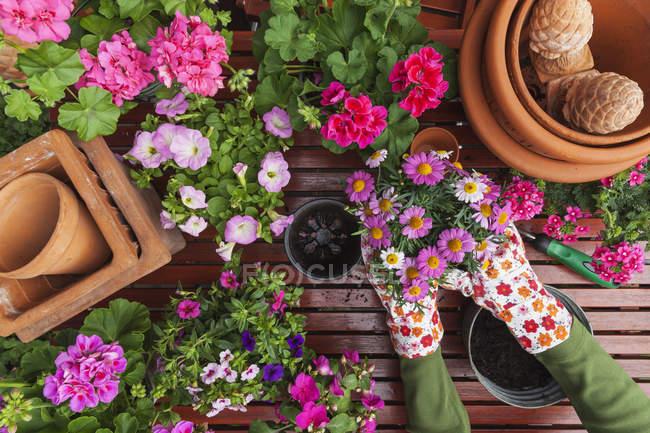 Jardinage, différentes fleurs de printemps et d'été, boîte à fleurs et outils de jardinage, mise en pot — Photo de stock