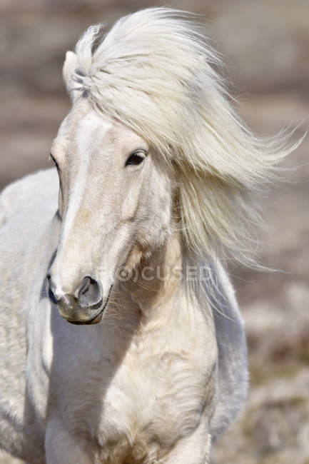 Iceland, closeup of Icelandic horse looking aside — Stock Photo