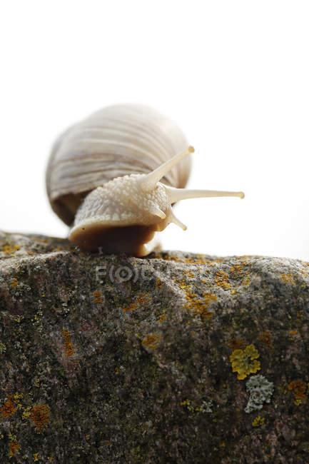 Escargots (Helix pomatia) sur une pierre en rétro-éclairé, vue — Photo de stock
