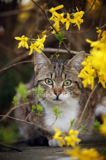 Tabby cat sitting under blooming bush — Stock Photo