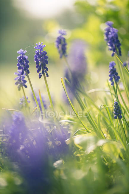 Grape hyacinths on field during daytime — Stock Photo