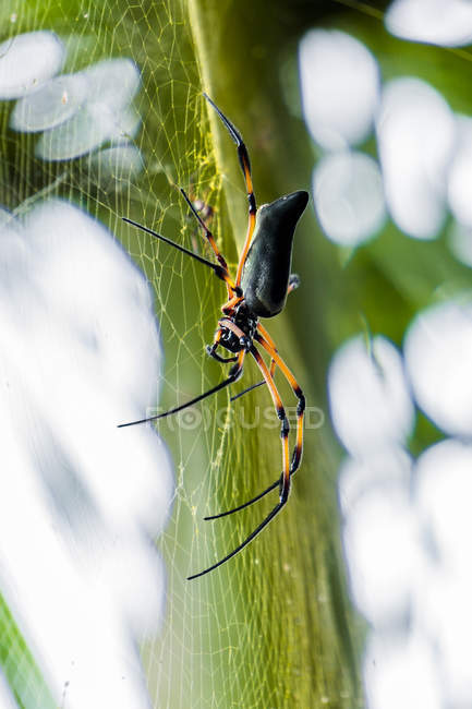 Araignée de soie (Nephila inaurata) sur sa toile — Photo de stock