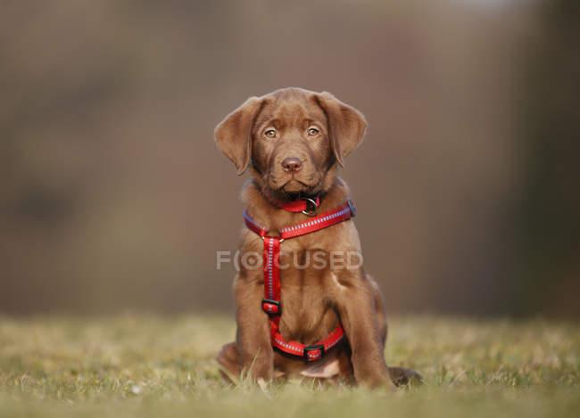Labrador-Welpe mit rotem Hundegeschirr sitzt auf Wiese — Stockfoto