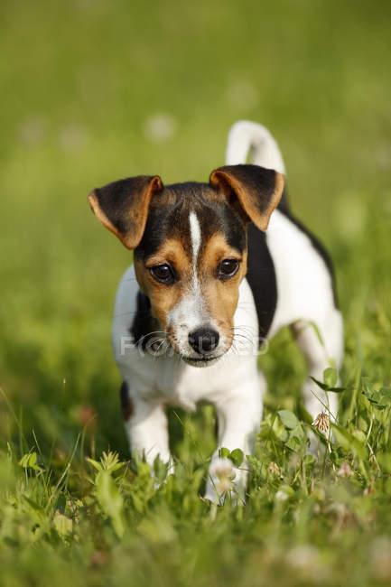 Jack Russel puppy walking on grass — Stock Photo