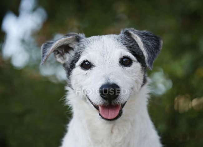 Jack Russel Terrier Blick in die Kamera mit der Zunge heraus — Stockfoto