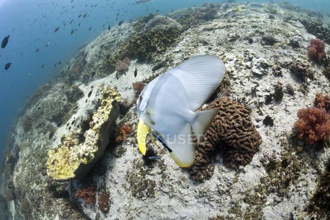 Omán, Golfo de Omán, pez león (Platax teira ) - foto de stock