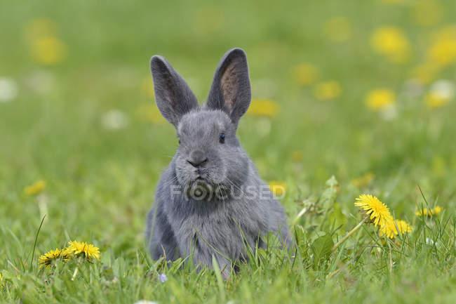 Вид спереди серого младенца кролика, сидя на зелёный луг с цветущими одуванчиками — стоковое фото