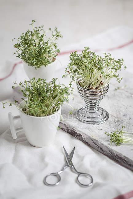 Berro (Lepidum sativum) en copa de huevo y copas, tijeras en tela - foto de stock