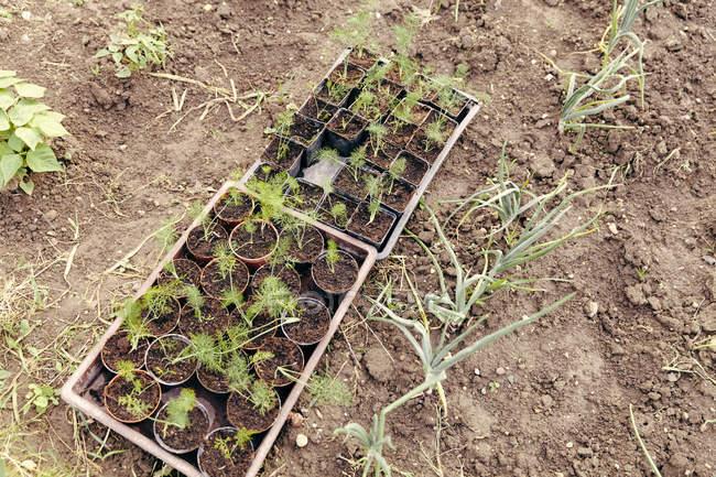 Seedlings at flowerpots standing in the garden — Stock Photo