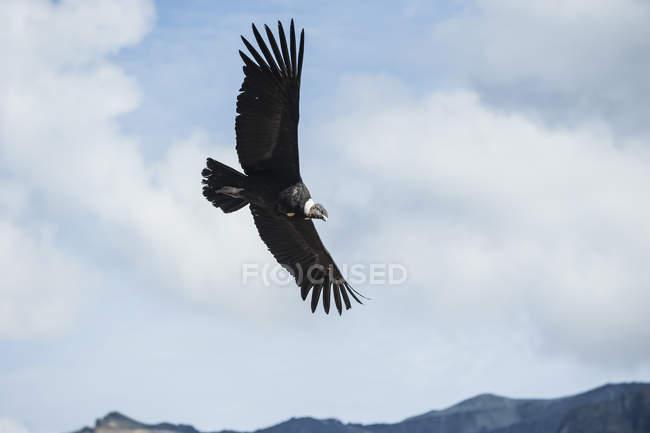 Oiseau condor andin en montagnes — Photo de stock