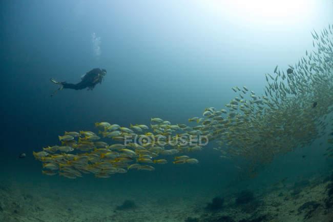 Omán, Golfo de Omán, buzo y cardumen de pargos de cola amarilla (Ocyurus chrysurus ) - foto de stock