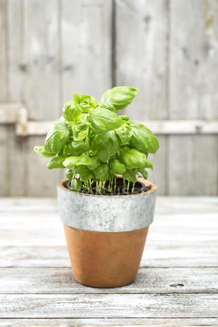 Flowerpot with basil on grey wooden table, studio shot — Stock Photo