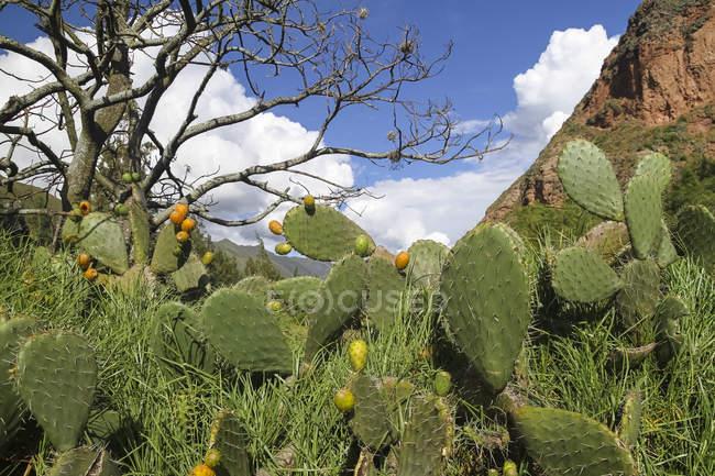 Sud America, Perù, Cusco, Ande, Opuntia — Foto stock