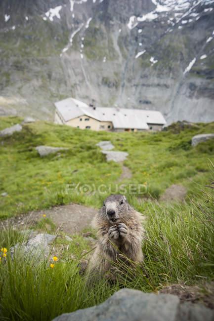 Austria, Carinthia, Kaiser-Franz-Josefs-Hoehe, alpine marmot (marmota marmota) eating — стоковое фото