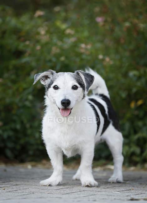 Jack Russel Terrier stehend im Garten und Blick in die Kamera — Stockfoto
