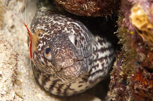 Caraïbes, Antilles, Curaçao, Westpunt, murènes lacées, Gymnothorax favagineus et crevettes plus propres, Lysmata grabhami — Photo de stock