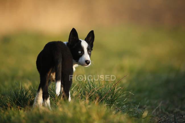 Confine Collie cucciolo in piedi sul prato — Foto stock