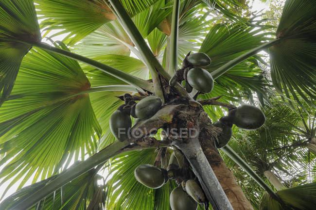 Seychelles, Praslin, Vallee de Mai, Coco de Mer (Lodoicea maldivica) com cocos — Fotografia de Stock