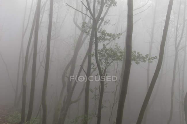 Spain, Canary Islands, La Palma, foggy forest at Cumbre Nueva near Brena Alta — Stock Photo