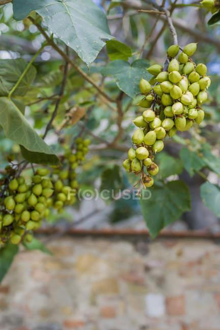 Itália, Toscana, San Quirico d'Orcia, Imperatriz Tree (Paulownia tomentosa) — Fotografia de Stock
