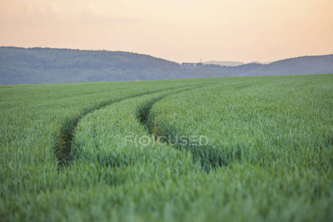 Germany, Rhineland-Palatinate, Wheat field in early summer — Stock Photo