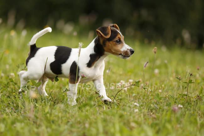 Jack Russel Welpen zu Fuß auf dem Rasen — Stockfoto