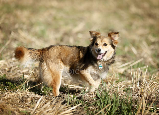 Mongrel dog standing on meadow with tongue out — Stock Photo