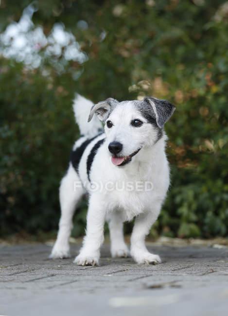 Jack Russel Terrier stehend unterwegs in der Natur — Stockfoto