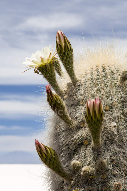 Bolivia, Altiplano, Salar de Uyuni, Cactus flowers — Stock Photo