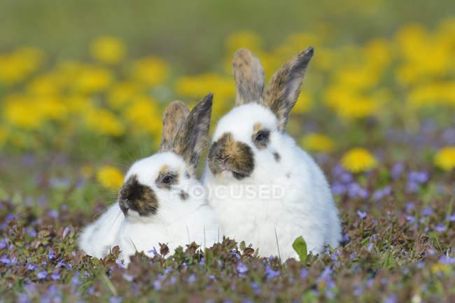 Dos conejos bebé sentados en el prado de flores - foto de stock