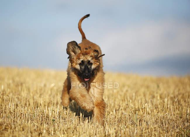 Chiot de chien afghan courir sur le champ de chaume — Photo de stock