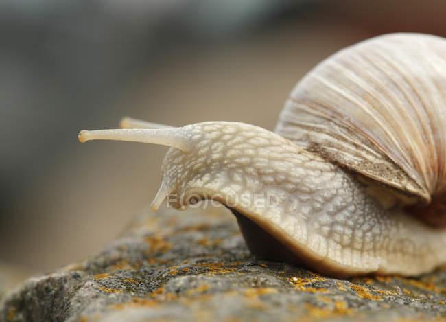 Caracol comestível (Helix pomatia) rastejando na pedra, vista closeup — Fotografia de Stock