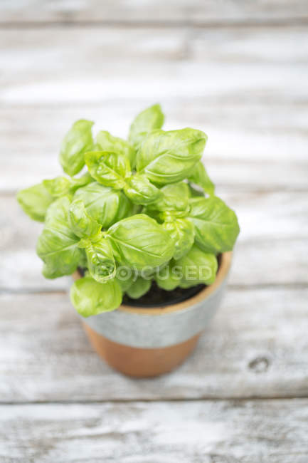 Flowerpot with basil on grey wooden table, elevated view — Stock Photo