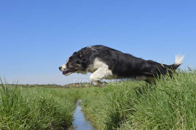 Border Collie sautant par-dessus le fossé sur la prairie — Photo de stock