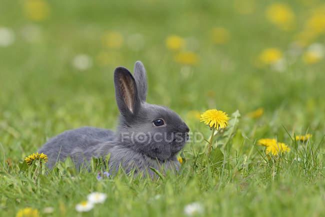 Coniglio bambino grigio sdraiato sul prato di fiori — Foto stock