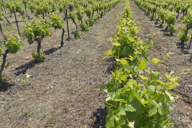 France, Hérault, Lac du Salagou, vignoble de jour — Photo de stock