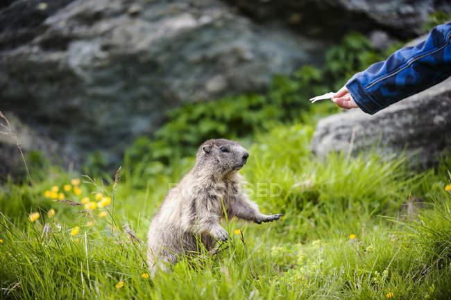 Austria, Carinthia, Kaiser-Franz-Josefs-Hoehe, boy feeding alpine marmot (marmota marmota) — стоковое фото