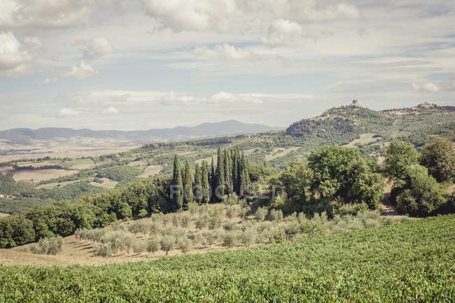 Italy, Tuscany, Val d'Orcia, Castiglione d'Orcia, Vineyard and olive trees — Stock Photo