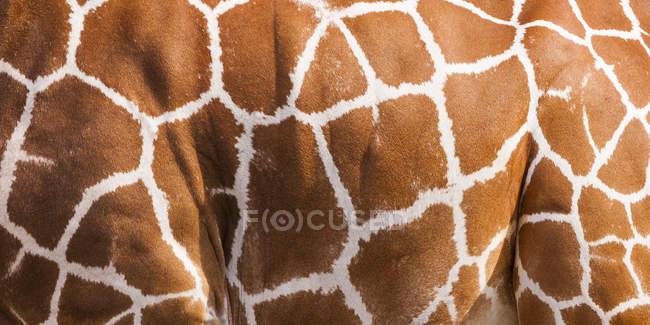 Netzgiraffe, Giraffe camelopardalis reticulata, Teilansicht — Stockfoto