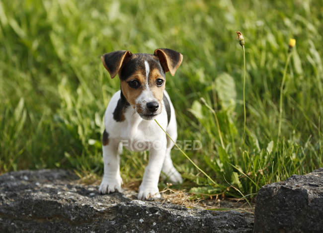Jack Russel Terrier puppy standing on stone in front of meadow — Stock Photo