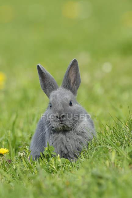 Передний вид серого кролика, сидящего на зеленом лугу с цветущими одуванчиками — стоковое фото