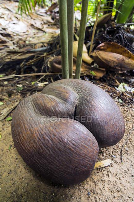 Coco de Mer (Lodoicea maldivica), fruta madura no chão — Fotografia de Stock