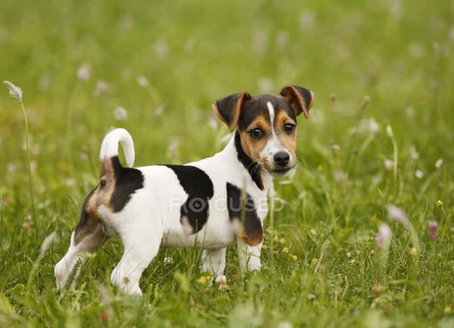 Jack Russel Terrier Welpe stehend auf Wiese und Blick in die Kamera — Stockfoto