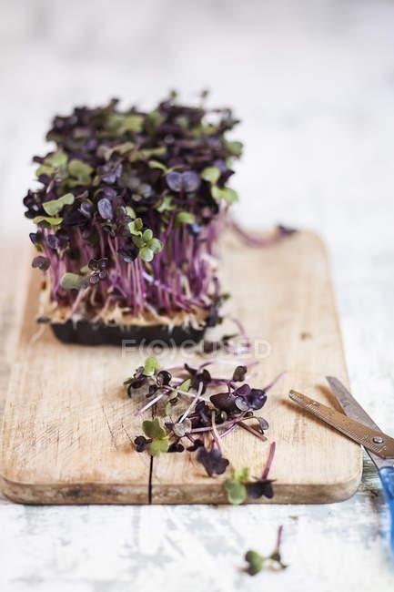 Récipient en plastique de cresson de radis pourpre sur une planche en bois avec des ciseaux — Photo de stock
