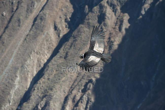 Oiseau Condor des Andes (Vultur gryphus) Pérou, Colca Canyon, au-dessus des montagnes — Photo de stock