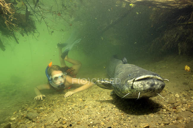 Wels Catfish | Germany Bavaria Girl Diving With Wels Catfish Silurus Glandis In