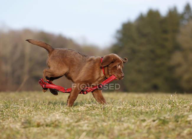 Marrone Labrador cucciolo in esecuzione su erba — Foto stock